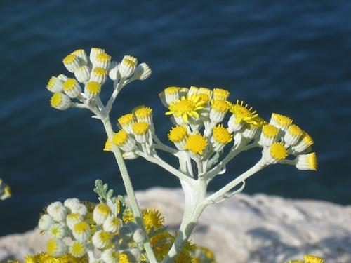 Elicriso Helichrysum
