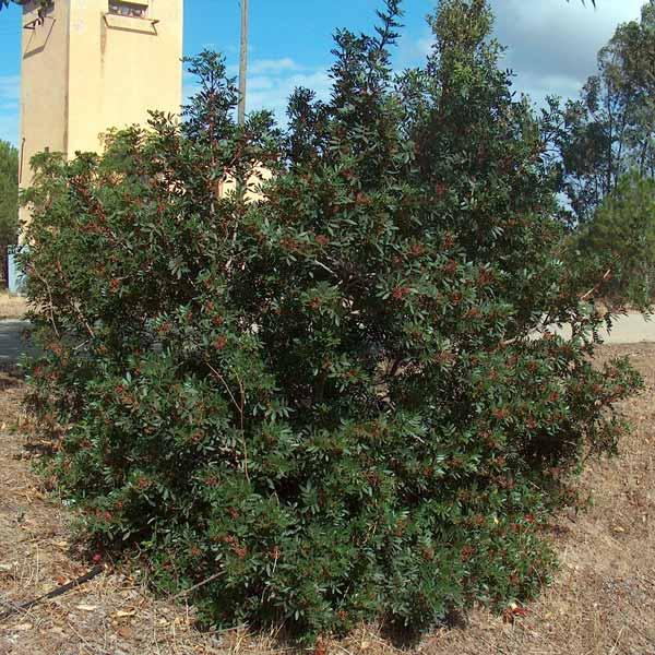 lentisco pianta