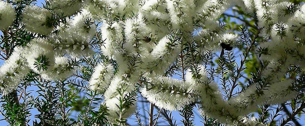 melaleuca. tea tree.2jpg